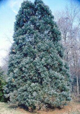 Sekvojovec mamutí Glauca - modrý, 80/100 cm v črepníku Sequoidendron giaganteum glauca